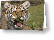 Crosseyed Siberian Tiger Cub Endangered Species Wildlife Rescue Greeting Card