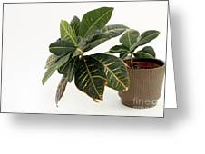 Croton Houseplant Greeting Card