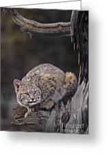 Crouching Bobcat Montana Wildlife Greeting Card