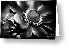Crown Anenome Greeting Card