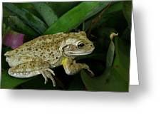 Cuban Tree Frog And Bromeliad. Greeting Card