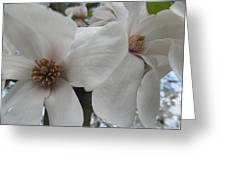 Cultivar Double Magnolia Blossoms Greeting Card