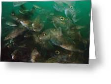 Cunner Fish Nova Scotia Greeting Card