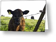 Curious Calf Looking Through Barbed Wire Fence Greeting Card