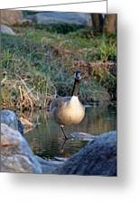 Curious Canadian Goose Greeting Card
