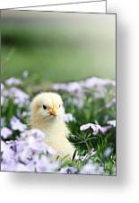 Curious Chick Greeting Card
