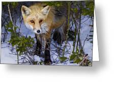 Curious Red Fox Greeting Card