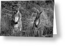 Curious Wallabies Greeting Card