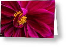 Curley Greeting Card