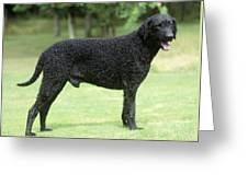 Curly-coated Retriever Greeting Card
