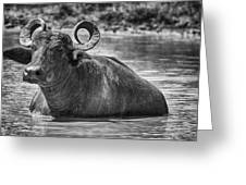Curly Horns-black And White Greeting Card