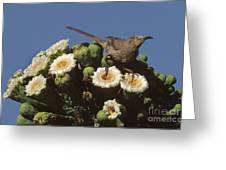 Curve-billed Thrasher Toxostoma Greeting Card