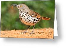 Curvedbill Thrasher With Grub Greeting Card