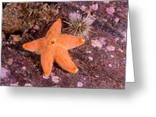 Cushion Winged Sea Star Greeting Card