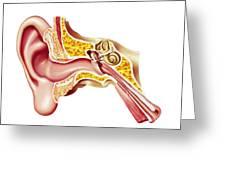Cutaway Diagram Of Human Ear Greeting Card