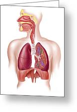 Cutaway Diagram Of Human Respiratory Greeting Card