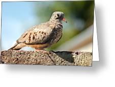 Cute Inca Dove Greeting Card by Robert Bales