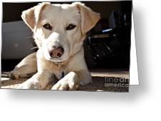 Cute White Dog Greeting Card