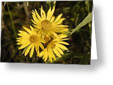 Cutleaf Daisy Greeting Card