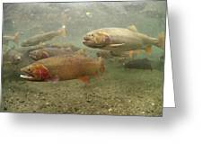 Cutthroat Trout In The Spring Idaho Greeting Card by Michael Quinton