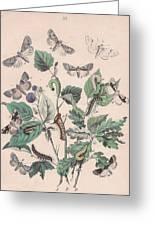 Cymatophoridae - Acronyctidae Greeting Card