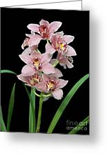 Cymbidium Lillian Stewart 'ste Sherrie'. Greeting Card
