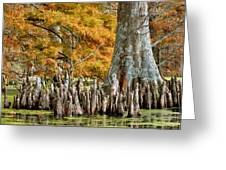 Cypress Knees In Fall Greeting Card
