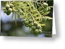 Cypress Nuts Greeting Card