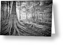 Cypress Roots In Big Cypress Greeting Card