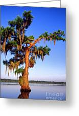 Cypress Tree Draped In Spanish Moss Greeting Card