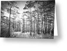 Cypress Trees In Big Cypress Greeting Card