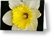 Daffodil 2014 Greeting Card