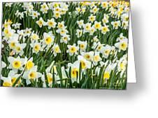 Daffodil Field 2 Greeting Card