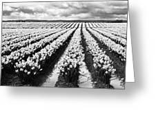 Daffodil Fields II Greeting Card