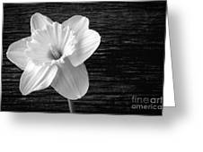 Daffodil Narcissus Flower Black And White Greeting Card