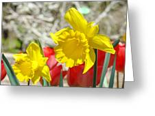 Daffodil Flowers Art Prints Spring Daffodils Red Tulip Garden Greeting Card by Baslee Troutman
