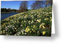 Daffodil Hill Greeting Card