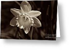 Daffodil In Black And White Greeting Card