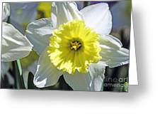 Daffodil Sunshine Greeting Card