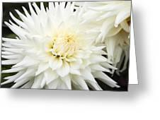 Dahlia - 3 Greeting Card