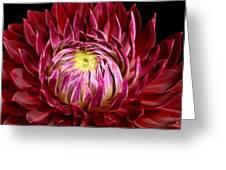 Dahlia-0006 Greeting Card