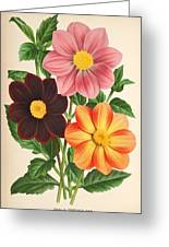 Dahlia Coccinea From A Begian Book Of Flora. Greeting Card