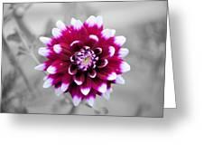 Dahlia Flower 2 Greeting Card