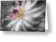 Dahlia Flower Splendor Greeting Card