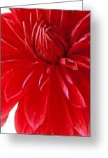 Dahlia I Greeting Card