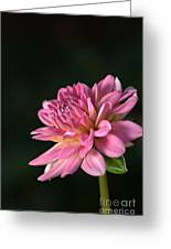 Dahlia In The Spotlight Greeting Card