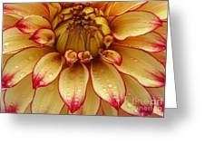 Dahlia Lady Darlene In Close Up Greeting Card