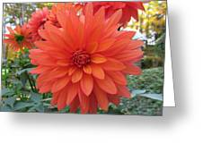 Dahlia 'melody Swing' Greeting Card