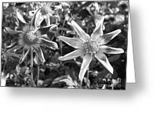 Dahlia Named Amy's Star Greeting Card