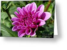 Dahlia Named Blue Bell Greeting Card